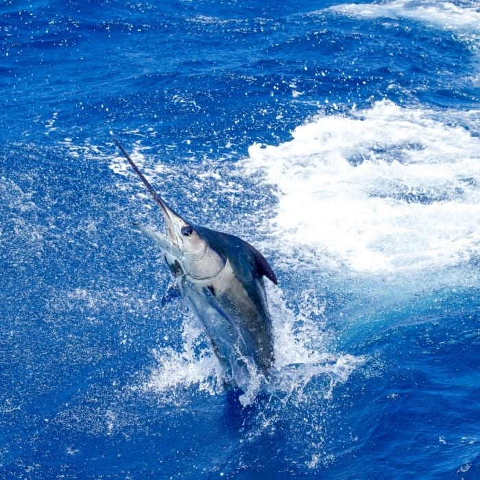 Wasabi Fishing - Blue Marlin