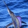 Wasabi Fishing - Striped Marlin
